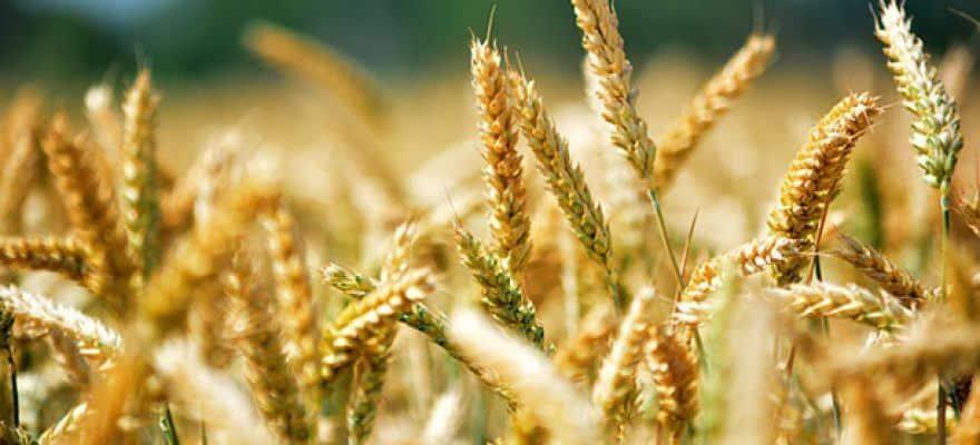 hvede allergi